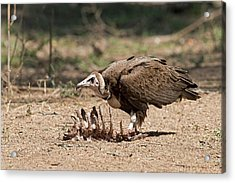 Hooded Vulture With Carcass Acrylic Print