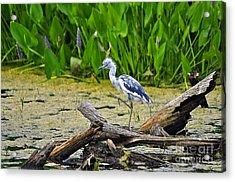 Hooligan Heron Acrylic Print by Al Powell Photography USA