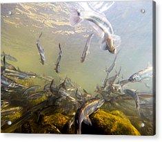 Hooligan Underwater Acrylic Print
