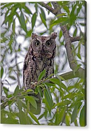 Hooo You Lookin At ? Acrylic Print by Timothy McIntyre