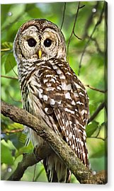 Acrylic Print featuring the photograph Hoot Owl by Christina Rollo