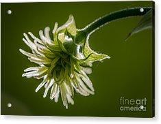 Hop Flower Close-up Acrylic Print