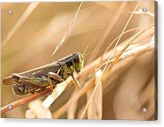 Hopper In Golden Grass Acrylic Print