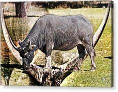 Horn Of A Buffallo Acrylic Print