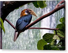 Acrylic Print featuring the photograph Hornbill In Paradise by Adam Olsen