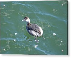 Horned Grebe Acrylic Print by James Petersen