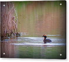 Horned Grebe Acrylic Print by Marcus Moller