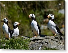 Horned Puffins Acrylic Print by William H. Mullins