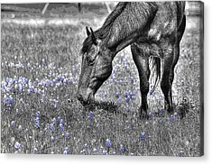 Horse And Bluebonnets - Color Isolation Acrylic Print by Lorri Crossno