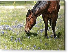 Horse And Bluebonnets IIi Acrylic Print by Lorri Crossno