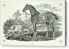 Horse And Cow Acrylic Print by British Library