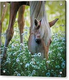Horse And Daisies Acrylic Print by Paul Freidlund