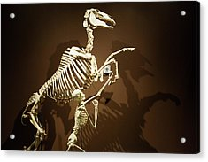Horse And Human Skeletons Exhibit Acrylic Print by Jim West