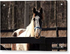Horse At The Gate Acrylic Print