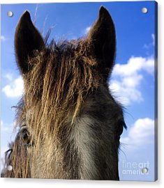 Horse Acrylic Print by Bernard Jaubert