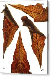Horse Chestnut Leaves Acrylic Print by Science Photo Library