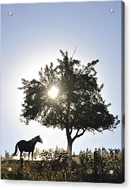 Horse Dreaming Under Tree Acrylic Print