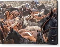 Horse Drive Chaos Acrylic Print