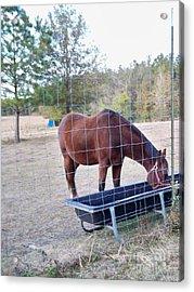 Horse Grazing Acrylic Print by Joseph Baril