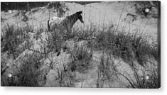 Horse In The Dunes Acrylic Print