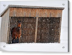 Horse Looking At Snow Storm Acrylic Print by Dan Friend