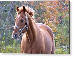 Acrylic Print featuring the photograph Horse Muscle by Glenn Gordon