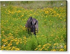 Horse Power Flower Power Acrylic Print by Bob Hislop
