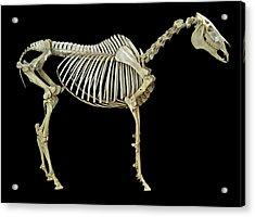 Horse Skeleton Acrylic Print