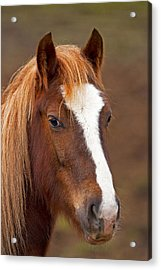 Horse Stare Acrylic Print by Paul Scoullar