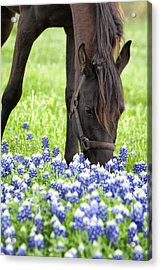 Horse With Bluebonnets Acrylic Print