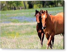 Horses And Bluebonnets II Acrylic Print by Lorri Crossno