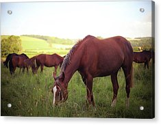 Horses Grazing Acrylic Print
