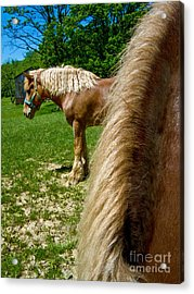 Horses In Meadow Acrylic Print by Amy Cicconi