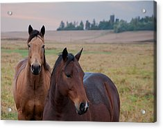 Horses In Rural Northwest Iowa  Acrylic Print