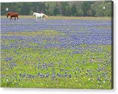 Horses Running In Field Of Bluebonnets Acrylic Print by Connie Fox