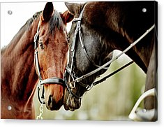 Horses Together Acrylic Print by Johner Images