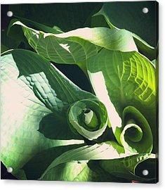 Hosta Curl Acrylic Print by Stephanie Aarons