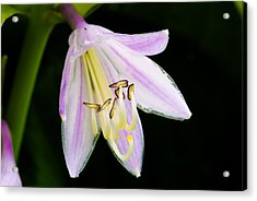 Hosta In Bloom Acrylic Print