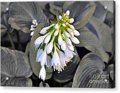 Hosta Ready To Bloom Acrylic Print