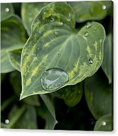 Hosta Acrylic Print by Stephen Prestek