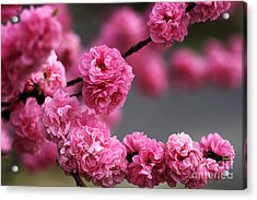 Hot Pink Blossom Acrylic Print by Joy Watson