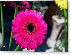 Hot Pink Gerber Daisy Acrylic Print