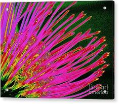 Hot Pink Protea Acrylic Print by Ranjini Kandasamy