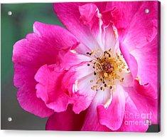 Hot Pink Rose Acrylic Print by Sabrina L Ryan