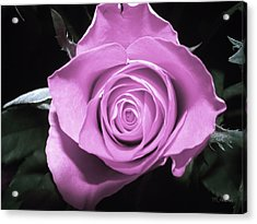 Hot Pink Rose Acrylic Print by Yvon van der Wijk