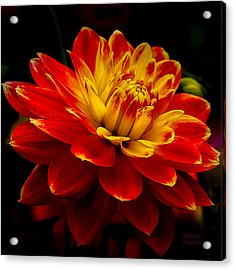 Hot Red Dahlia Acrylic Print