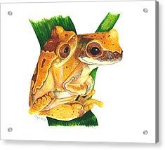 Hourglass Treefrog Acrylic Print by Cindy Hitchcock