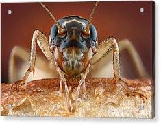 House Cricket Acrylic Print by Matthias Lenke