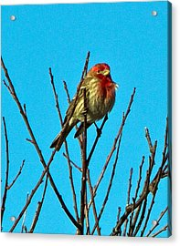 House Finch Acrylic Print by Constantine Gregory