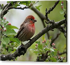 House Finch In Apple Tree Acrylic Print